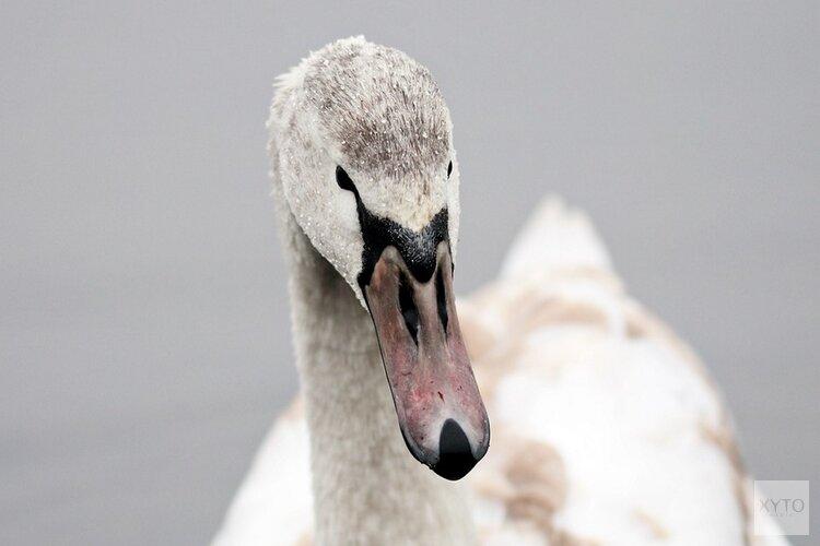 Sassenheimse stroper aangehouden met gewonde zwaan